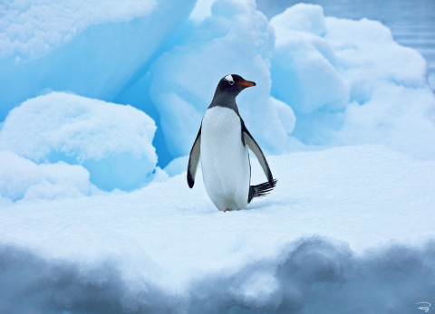 Photo Manchot royal, Antarctique par Philip Plisson