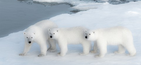 Photo Famille d'ours blancs par Philip Plisson