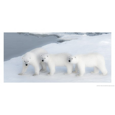 Famille d'ours blancs