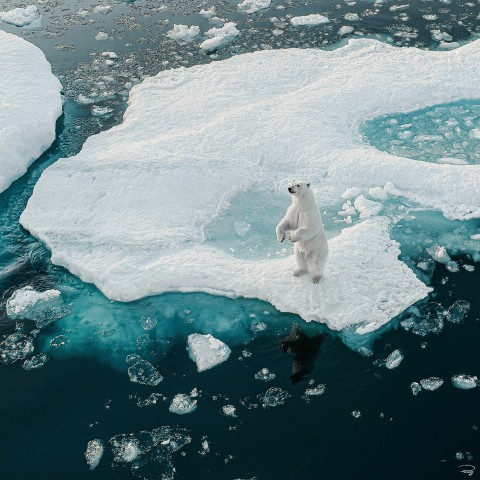 Photo Ours blanc, Arctique par Philip Plisson