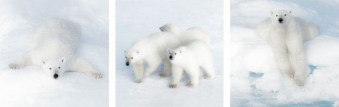 Photo Trio polar bears par Philip Plisson