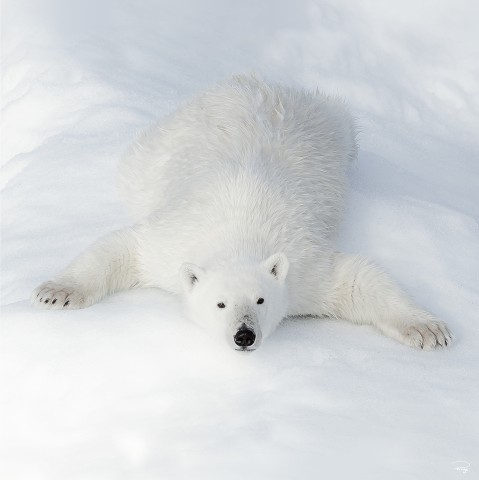 Photo L'ours polaire au repos par Philip Plisson