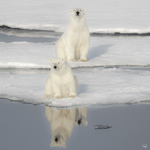 Photo Duo d'ours polaires par Philip Plisson